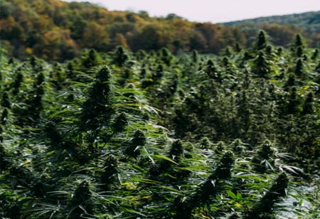 Importance of Vertical Integration in Cannabis Industry