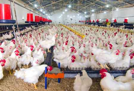 How has Technology Impacted Poultry Processing?