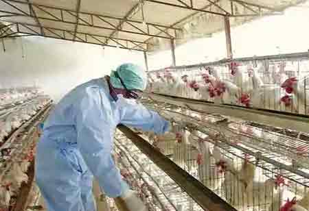 How Can Technology Help the Poultry Sector During Crisis?